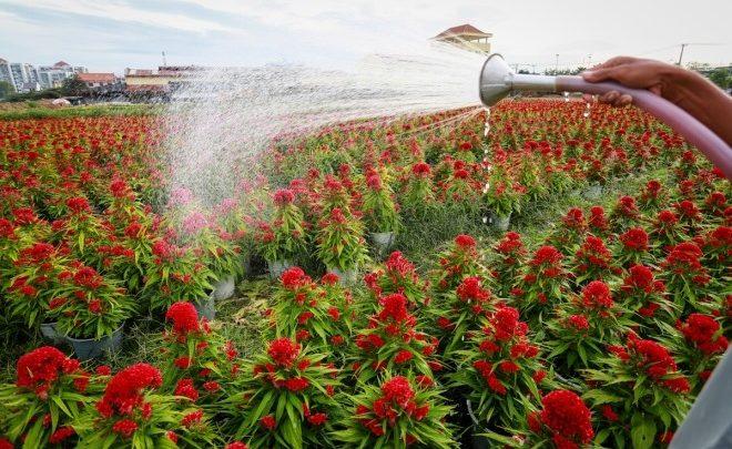 Làng hoa ven Sài Gòn tất bật ngày cận Tết